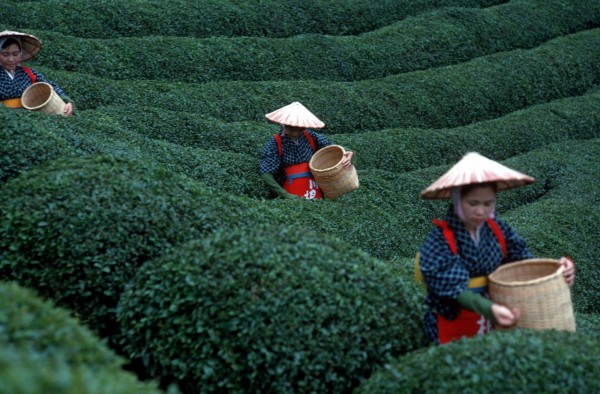 tea%20pickers[1]