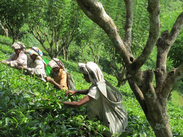 Plucking tea leaves to make black tea