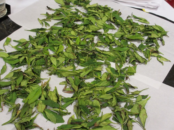 White after first day drying Tea in STI class