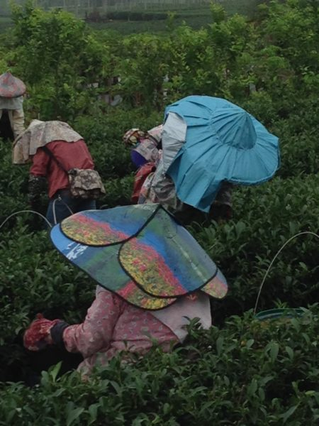 Tea Plucking in Zhushan